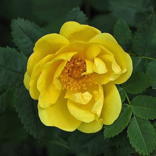 'Harison's Yellow' - foetidarosor