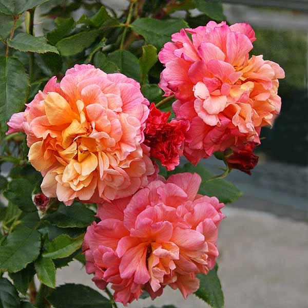 'Kordes Rose Aloha' - storblommiga klätterrosor
