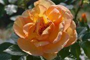 'Maigold' - spinossissimarosor