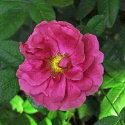 'Officinalis' - gallicarosor