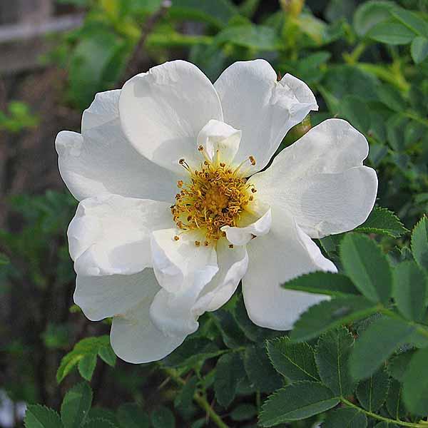 Rosa spinossissima 'Plena' (Finlands vita ros) - vildrosor