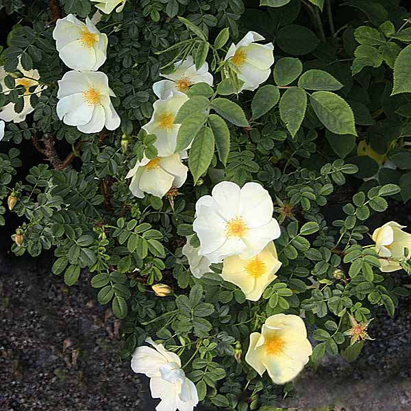 Rosa x pteragonis 'Cantabrigiensis' - vildrosor