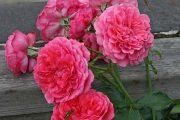 'Rosarium Uetersen' - storblommiga klätterrosor