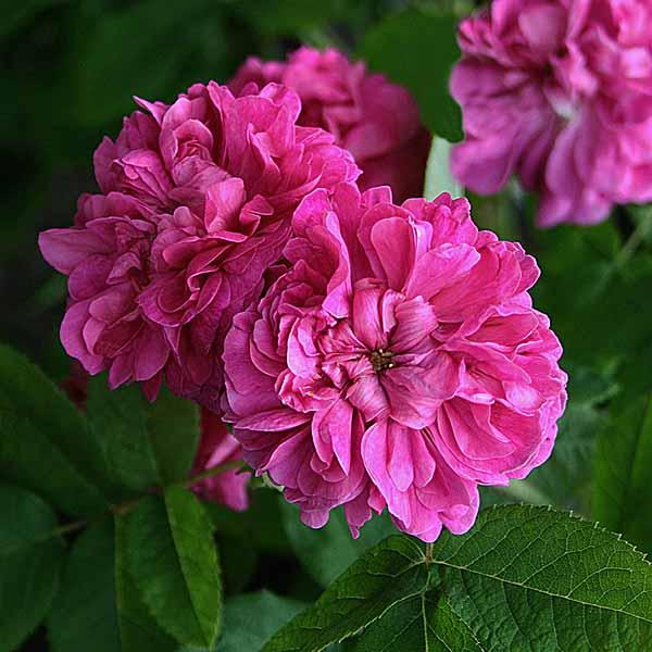 'Rose du Roi' - portlandrosor