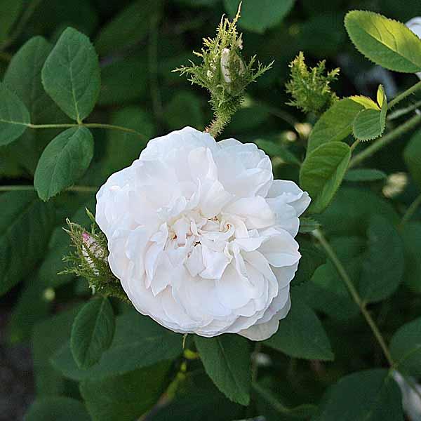 'Shailers White Moss' - mossrosor