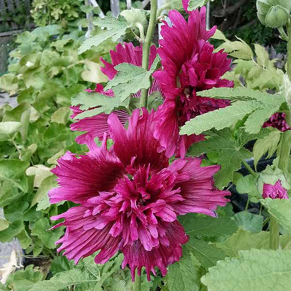 Alcea 'Spring Celebrities Purple'
