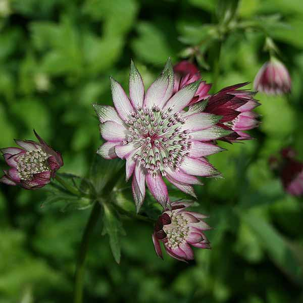 Astrantia 'Super Star'