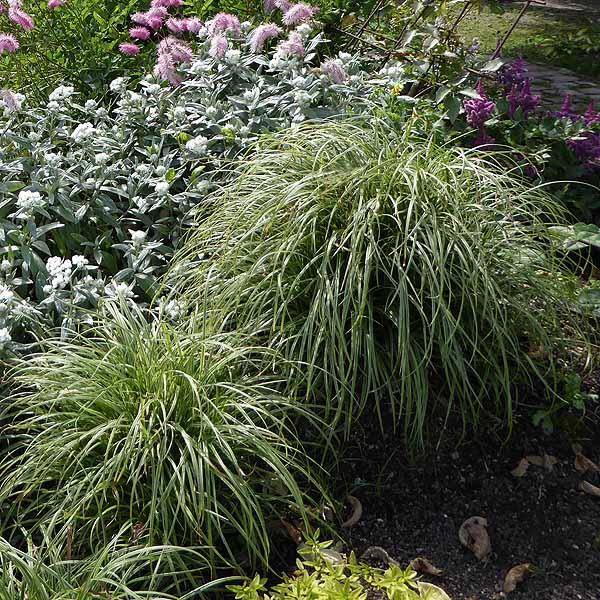 Carex 'Silver Sceptre'