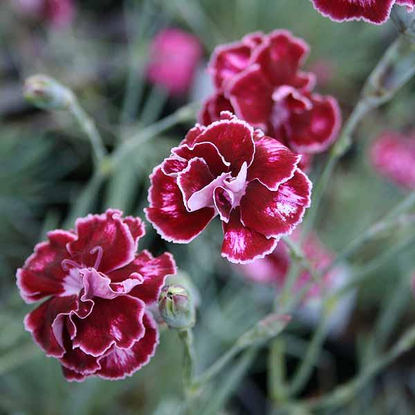 Dianthus 'Romeo'