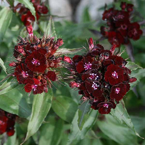 Dianthus 'Sooty'