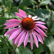 Echinacea 'Magnus' - röd solhatt - årets perenn 1998