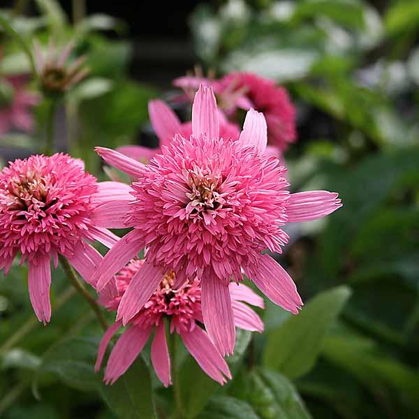 Echinacea 'Pink Double Delight'