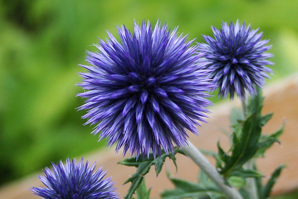 Echinops 'Veitch´s Blue' - bolltistel - årets perenn 2012