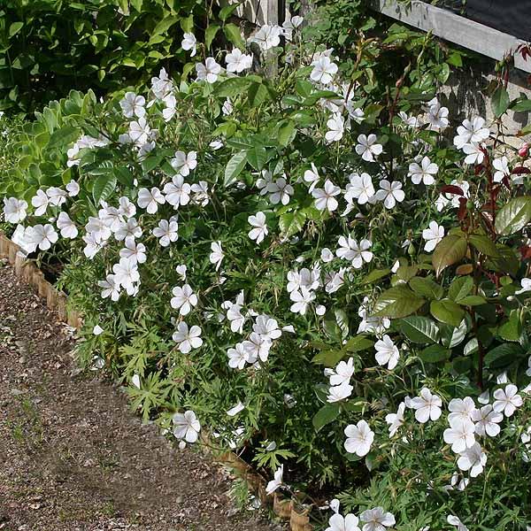 Geranium 'Kashmir White'
