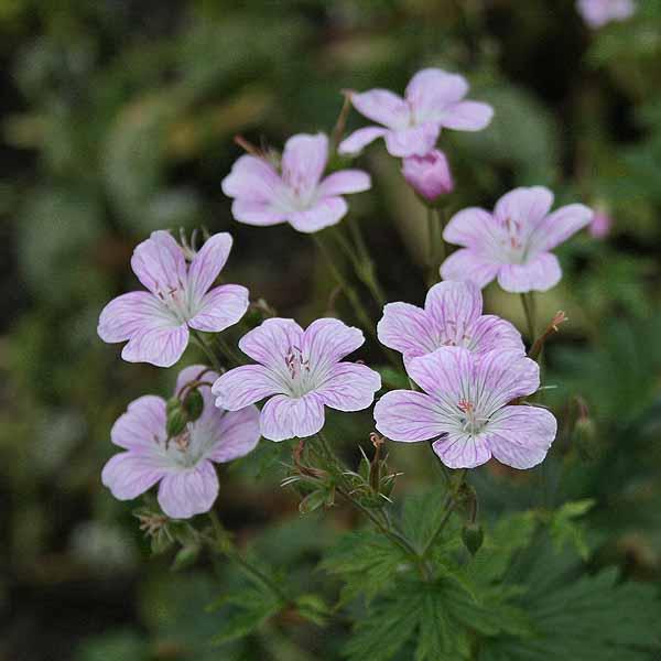 Geranium 'Melinda'