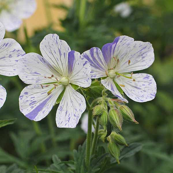 Geranium 'Splish-Splash'