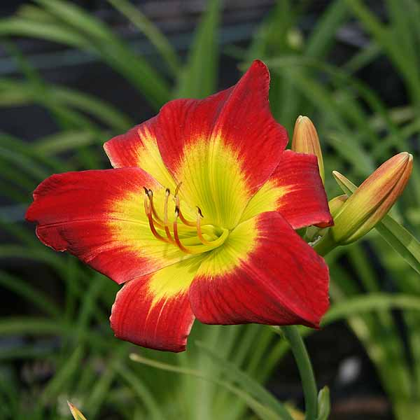 Hemerocallis 'Christmas Is'