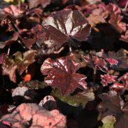 Heuchera 'Palace Purple' - rödbladig alunrot - årets perenn 2003