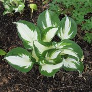 Hosta 'Fire and Ice' - blomsterfunkia - årets perenn 2011