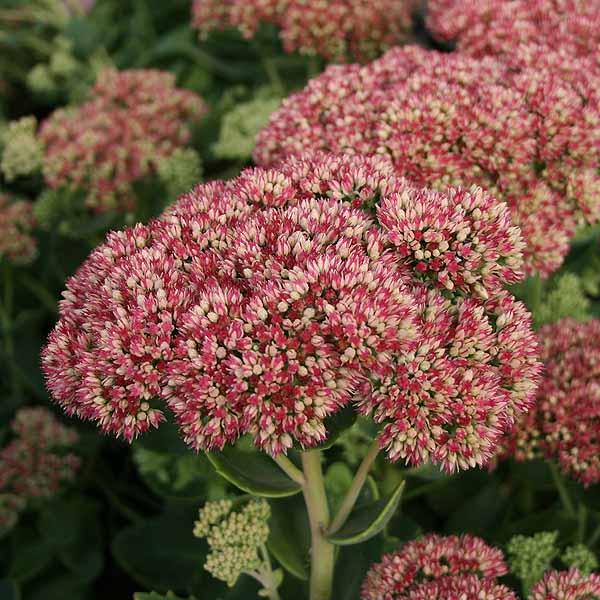 Hylotelephium 'Herbstfreude'