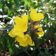 Oenothera 'Fraseri' - gullnattljus - årets perenn 2009