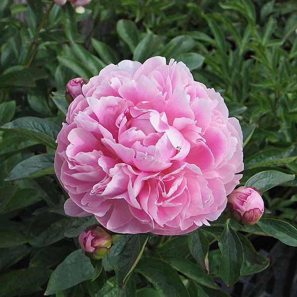 Paeonia 'Miss Eckhart'