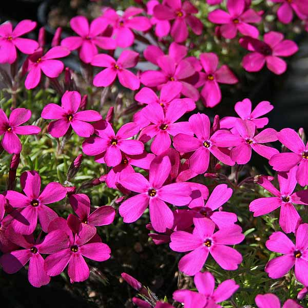 Phlox 'Crackerjack'
