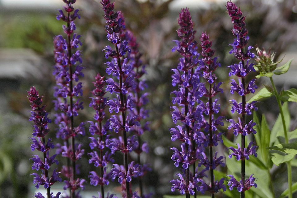 Salvia 'Caradonna' - stäppsalvia - årets perenn 1997