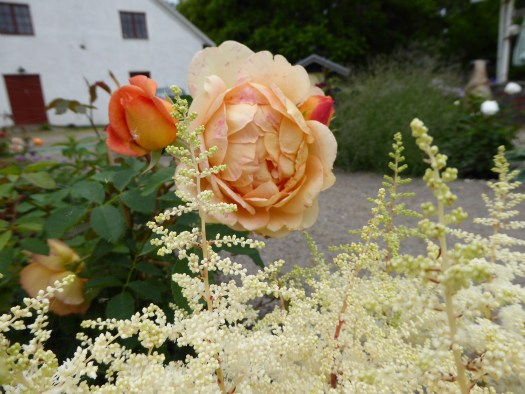 'Lady of Shalott' och Astilbe 'Ellie'