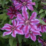 'Akaishi' - Tidiga Storblommiga Gruppen