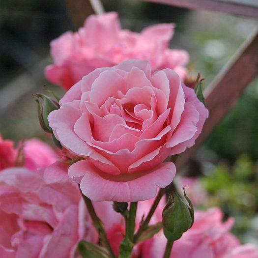 'Queen Elizabeth' Rabattros - Grandiflora-Gruppen.