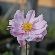 Anemone 'Mount Rose'