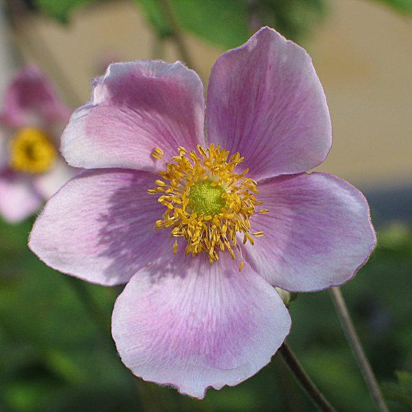 Anemone 'Robustissima'
