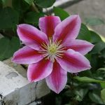 ANGELA - Tidiga Storblommiga Gruppen