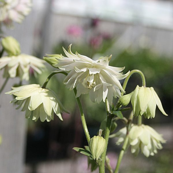 Aquilegia 'Green Apples'