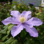 'Belle Nantaise' - Tidiga Storblommiga Gruppen