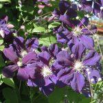 'Blue Belle' - Viticella-Gruppen