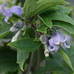 'Blue Dwarf' - Heracleifolia-Gruppen