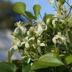 Clematis terniflora - Flammula-Gruppen