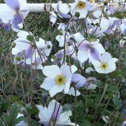 Anemone WILD SWAN