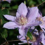 FILIGREE - Tidiga Storblommiga Gruppen