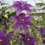 'Sano-no-murasaki' - Tidiga Storblommiga Gruppen