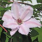 'Jan Pawel II' - Tidiga Storblommiga Gruppen