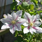 'Andromeda' - Tidiga Storblommiga Gruppen