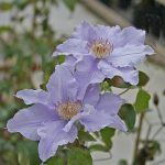 ANGELIQUE - Tidiga Storblommiga Gruppen
