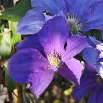 'Ascotiensis' - Sena Storblommiga Gruppen