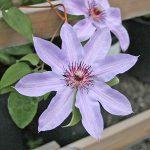 'Blue Ravine' - Tidiga Storblommiga Gruppen