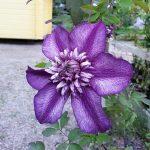 CASSIS - Tidiga Storblommiga Gruppen