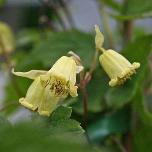 Clematis rehderiana
