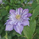 CRYSTAL FOUNTAIN - Tidiga Storblommiga Gruppen